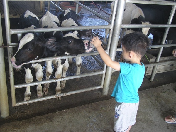 餵小牛喝奶