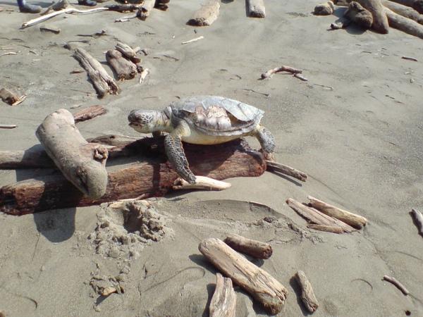 不幸掛掉的海龜