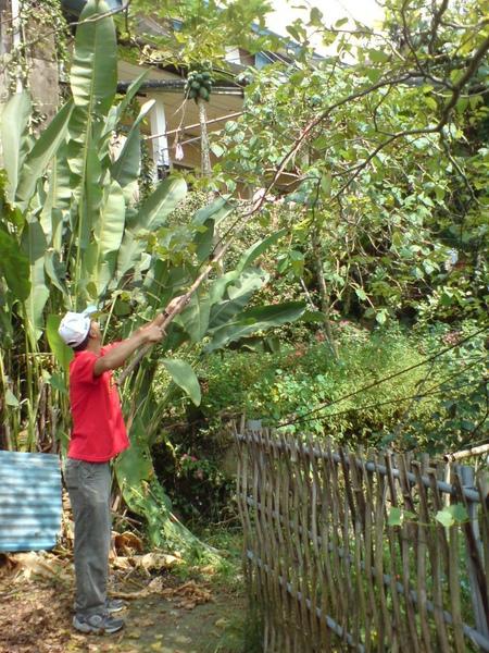 霖哥摘樹蕃茄