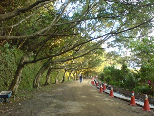 辛亥路四段21巷的榕樹道