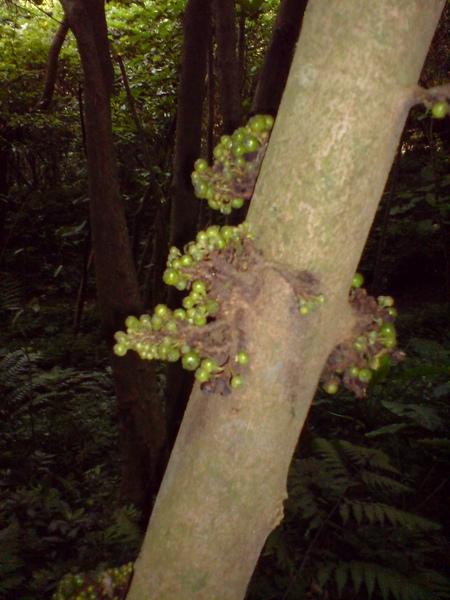 樹上長出不知名的果實
