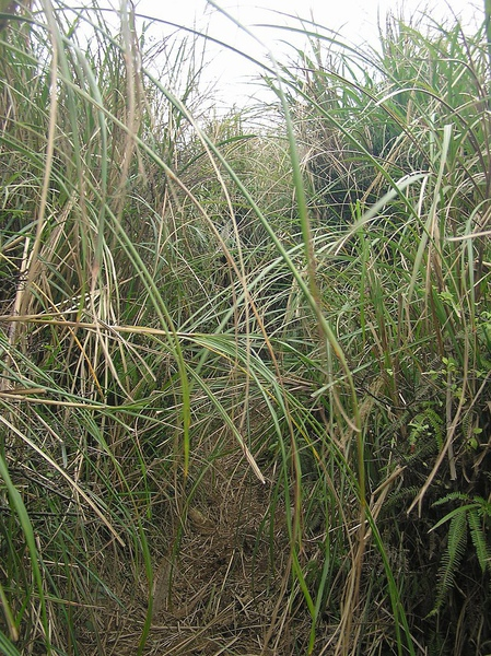 接近竹篙山山頂的芒草