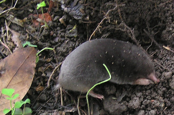 台灣鼴鼠(悶鼠)