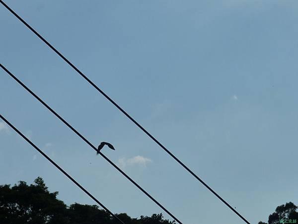 老鷹20130915 (15)