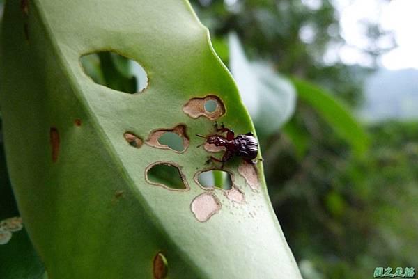 捲葉象鼻蟲20140104(4)