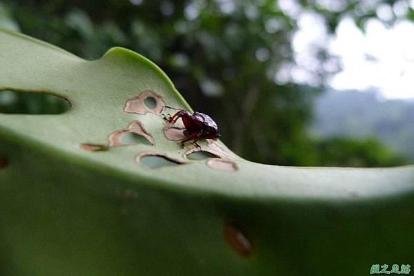捲葉象鼻蟲20140104(5)