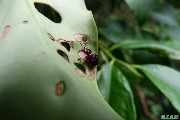 捲葉象鼻蟲20140104(10)