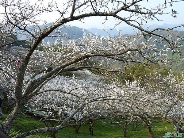 洗水山李花園20140131(1)