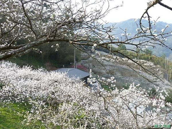 洗水山李花園20140131(2)