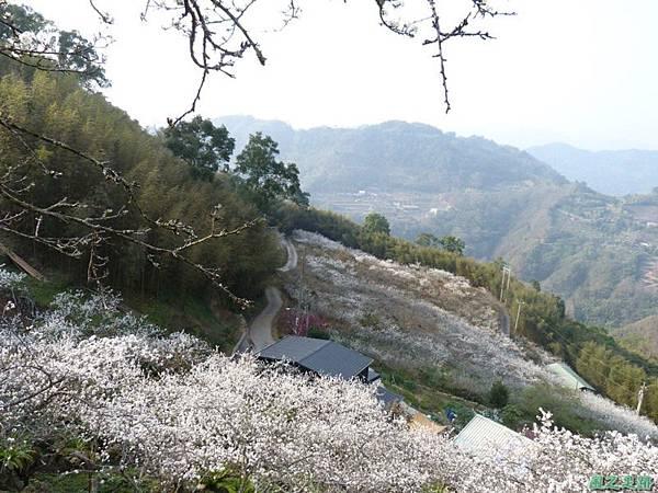 洗水山李花園20140131(3)