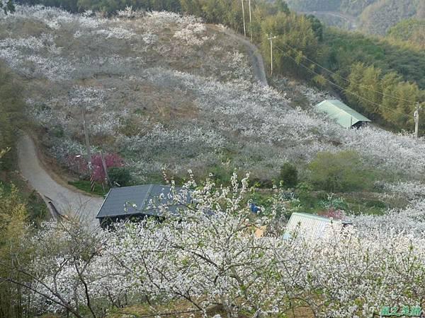 洗水山李花園20140131(6)