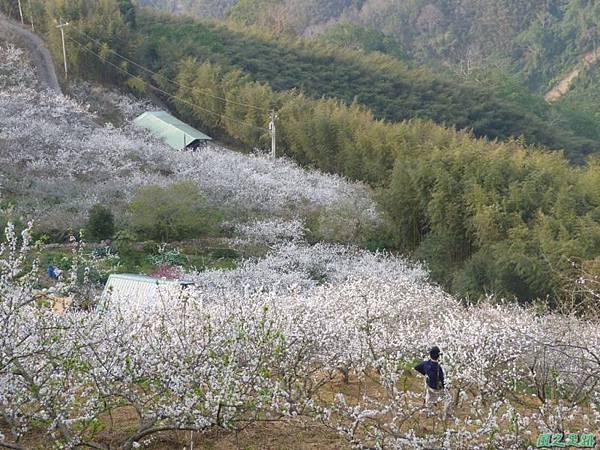 洗水山李花園20140131(7)