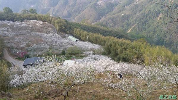 洗水山李花園20140131(11)