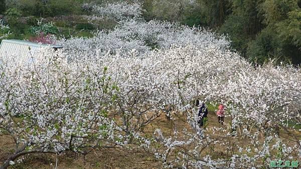 洗水山李花園20140131(12)