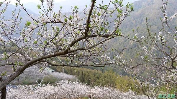 洗水山李花園20140131(13)