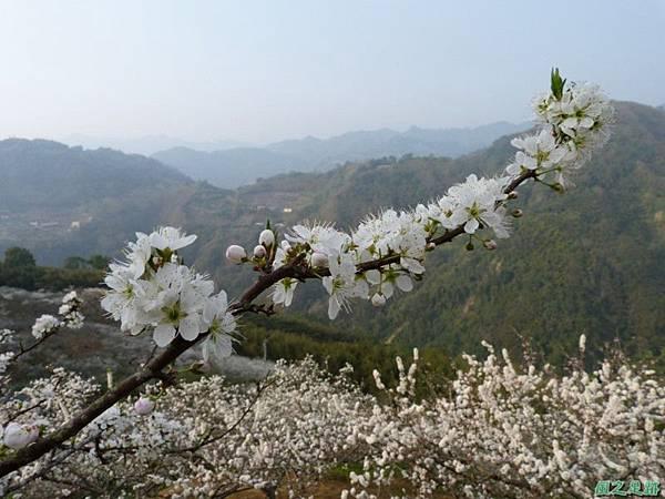 洗水山李花園20140131(14)