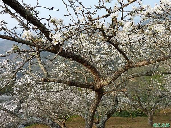 洗水山李花園20140131(15)