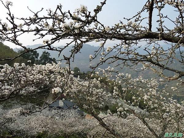 洗水山李花園20140131(16)