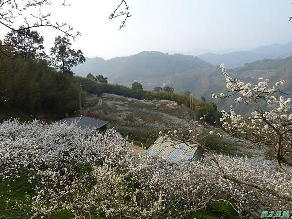 洗水山李花園20140131(17)