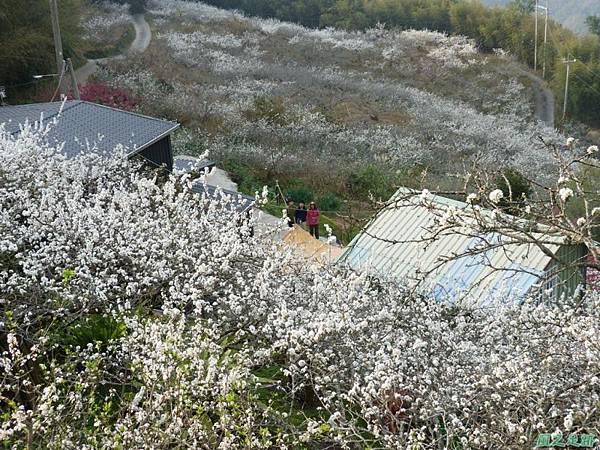 洗水山李花園20140131(18)