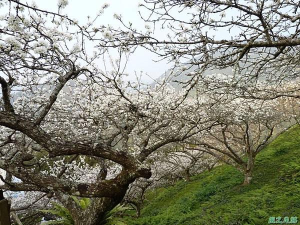 洗水山李花園20140131(19)