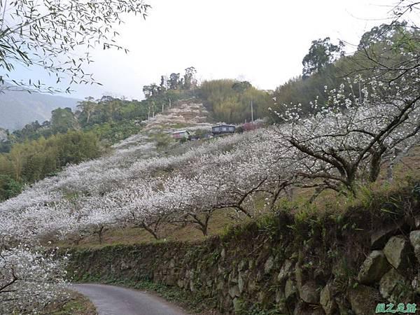 洗水山李花園20140131(21)