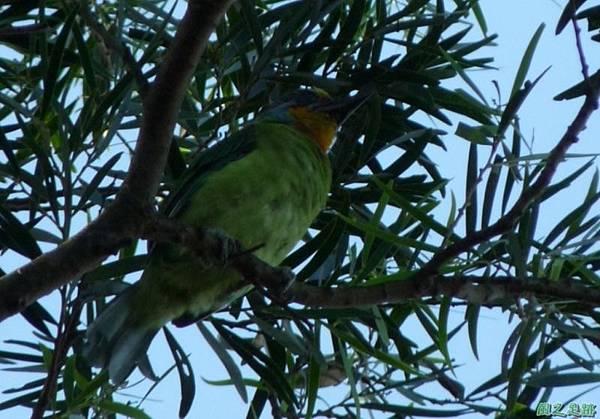 五色鳥20120901(1)