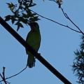 五色鳥20120901(2)