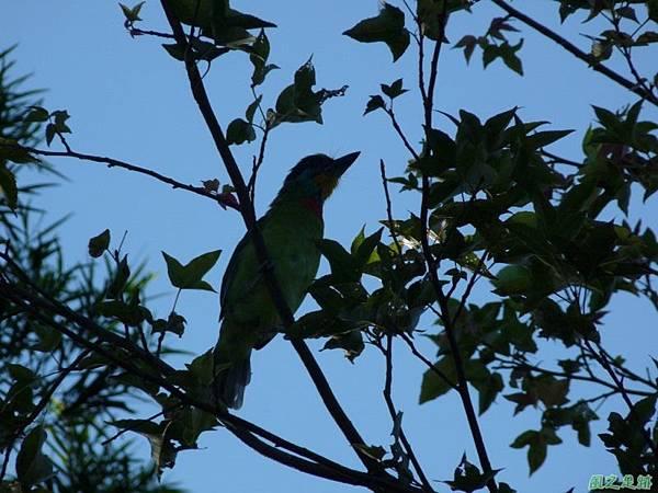五色鳥20120901(3)