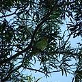 五色鳥20120901(4)