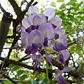20140404紫藤(2)