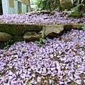 20140404紫藤(3)