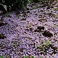 20140404紫藤(4)