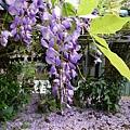 20140404紫藤(5)