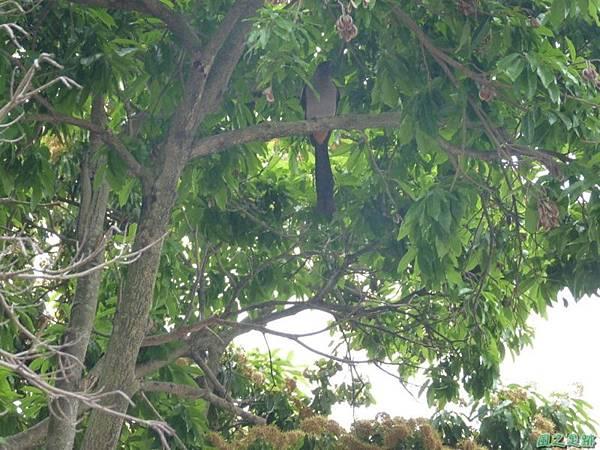 樹鵲20140419(1)