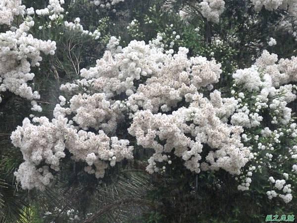 澳洲茶樹20140426(1)
