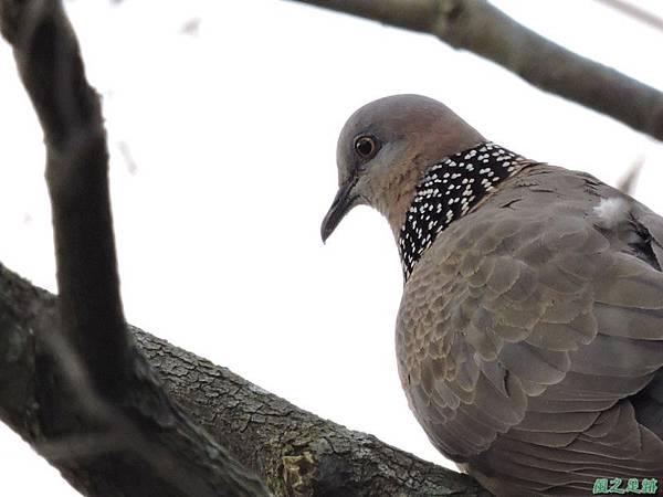 珠頸斑鳩20140511(1)