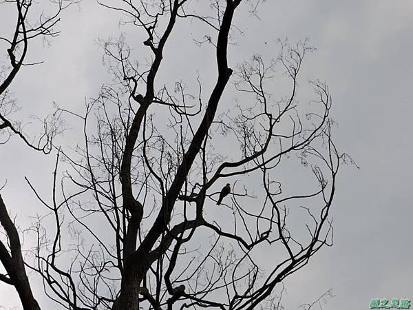珠頸斑鳩20140511(4)