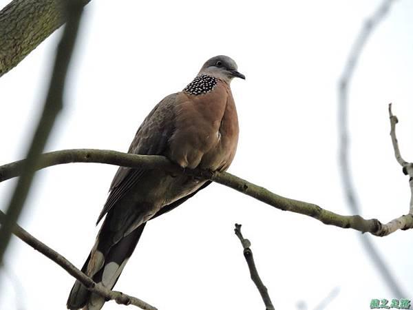 珠頸斑鳩20140511(6)