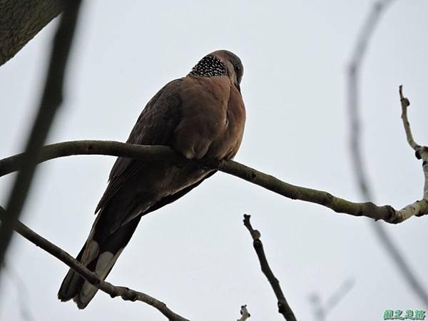 珠頸斑鳩20140511(7)