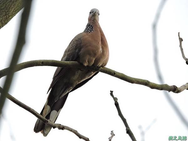 珠頸斑鳩20140511(8)
