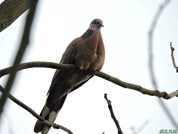 珠頸斑鳩20140511(9)
