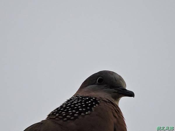 珠頸斑鳩20140511(10)