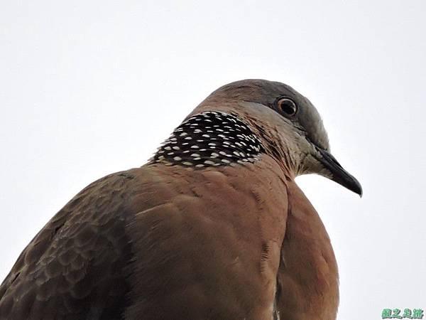 珠頸斑鳩20140511(11)