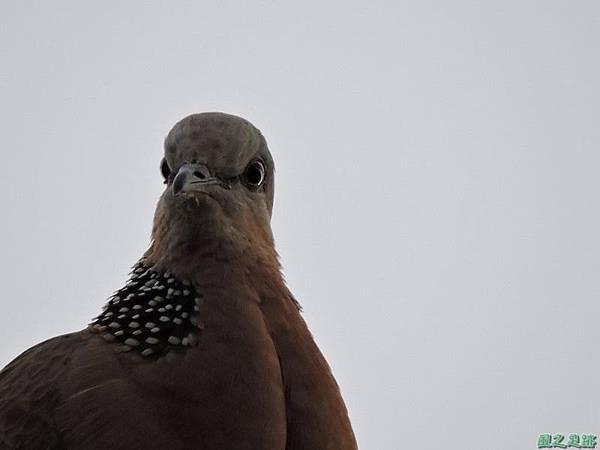珠頸斑鳩20140511(12)
