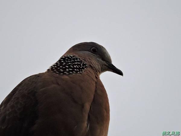 珠頸斑鳩20140511(13)