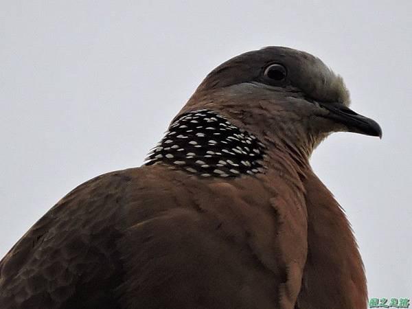 珠頸斑鳩20140511(14)