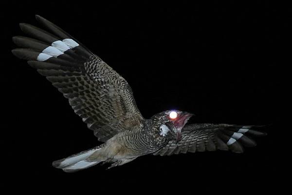 20140516夜鷹(網路照片1)