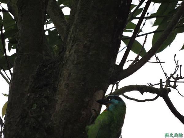 五色鳥20140607(4)
