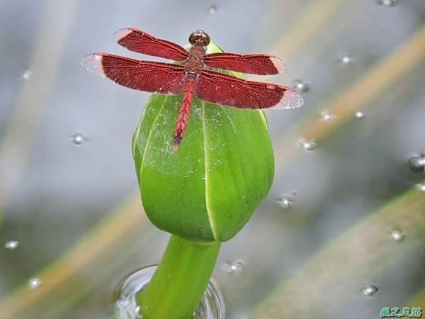 善變蜻蜓20140621(1)